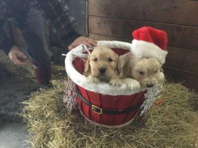 Golden Retriever PUPPY FOR SALE ADN-55115 - AKC golden retriever puppies