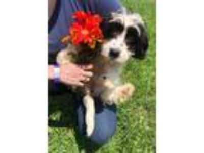 Adopt Phoebe a Black - with White Cavalier King Charles Spaniel / Poodle