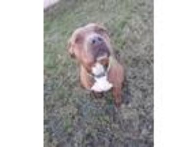 Adopt Leia a Pit Bull Terrier