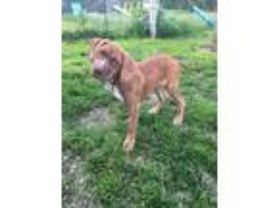 Adopt Jet a Boxer, Whippet