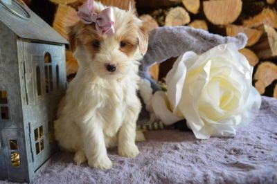 Goldendoodle PUPPY FOR SALE ADN-105182 - CANDY