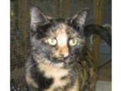 Adopt TuTu a Tortoiseshell Domestic Shorthair / Mixed (short coat) cat in