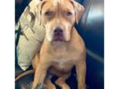 Adopt Sadie Justice a Pit Bull Terrier / Mixed dog in Denton, TX (25512455)