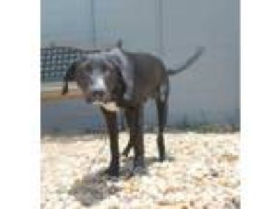 Adopt Ellis a Black Labrador Retriever / Mixed dog in St.