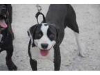 Adopt Poppy a Black English Springer Spaniel / Beagle / Mixed dog in