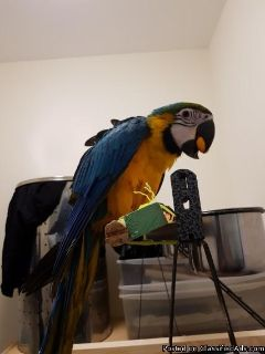 Gorgeous blue and gold macaw available