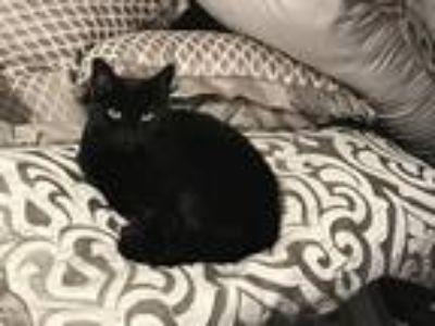 Adopt Panda a All Black Bombay / Mixed cat in Davenport, FL (23236802)