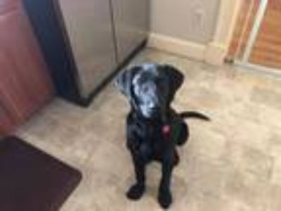 Adopt Heath - Pending a Labrador Retriever