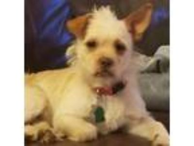 Adopt Carson a Tan/Yellow/Fawn Terrier (Unknown Type, Small) / Mixed dog in