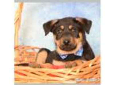 Adopt Trakker a Black - with Tan, Yellow or Fawn Rottweiler / Labrador Retriever