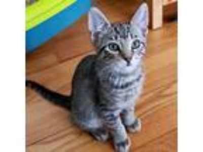 Adopt Brixx a Domestic Short Hair