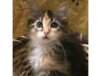 Adopt Kimber a Gray or Blue Domestic Longhair cat in Green Bay, WI (25648152)