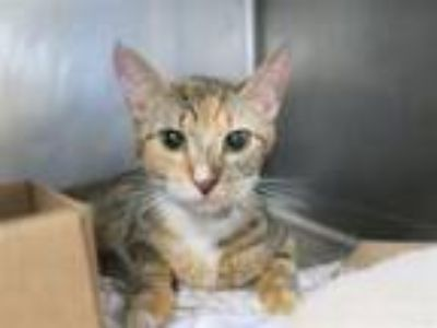 Adopt Red Rock a Domestic Short Hair