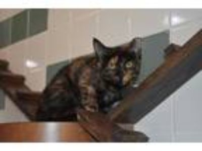 Adopt Camila a All Black Domestic Shorthair / Domestic Shorthair / Mixed cat in