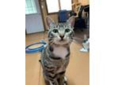 Adopt Boots a Brown Tabby Domestic Shorthair (short coat) cat in Sullivan