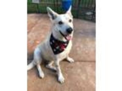 Adopt Gandolf a German Shepherd Dog