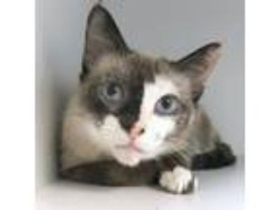 Adopt Persia a Tan or Fawn (Mostly) Siamese (long coat) cat in Philadelphia