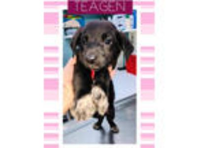 Adopt Teagan a Labrador Retriever, German Shepherd Dog