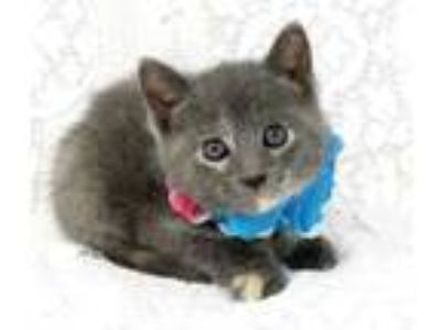 Adopt Maisie a Gray or Blue Domestic Shorthair / Domestic Shorthair / Mixed cat