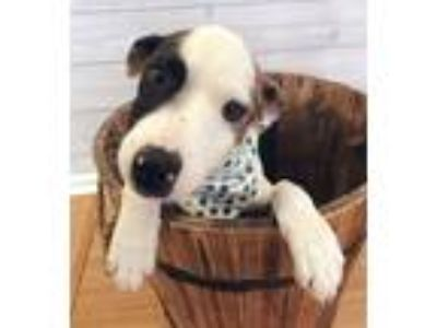 Adopt Flint a Brown/Chocolate - with Black Black Mouth Cur / Labrador Retriever