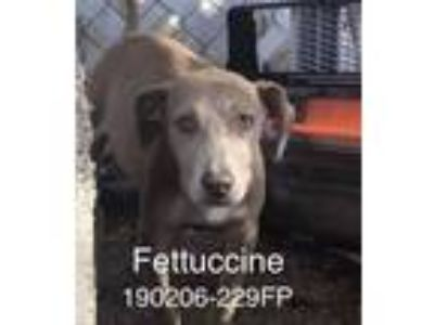 Adopt Fettuccine a Tan/Yellow/Fawn Labrador Retriever / Mixed Breed (Medium) /