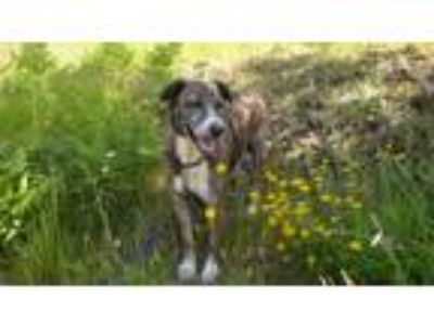 Adopt George a Brindle Boxer / Shepherd (Unknown Type) / Mixed dog in Tillamook