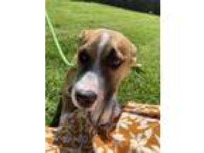 Adopt BABY RUTH a Brown/Chocolate American Pit Bull Terrier / Husky / Mixed dog
