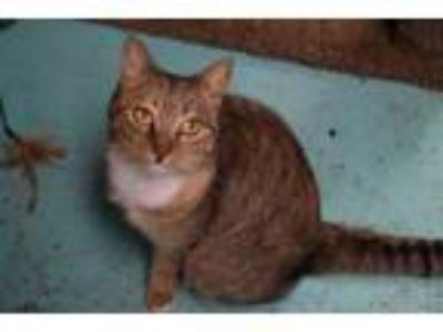 Adopt Venetian a Domestic Short Hair
