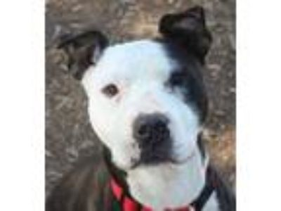 Adopt Nala a Black - with White Pit Bull Terrier / Mixed dog in Red Bluff