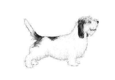 Petit Basset Griffon Vendeen Puppies