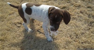 Braque Francais (French Pointer) Puppies for Sale