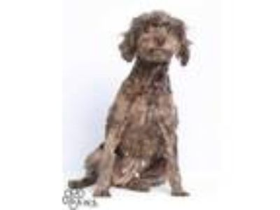 Adopt Sophia a Brown/Chocolate Cocker Spaniel / Poodle (Miniature) / Mixed dog