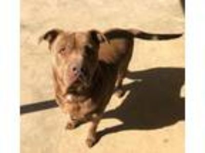 Adopt Max a Mastiff, Chocolate Labrador Retriever