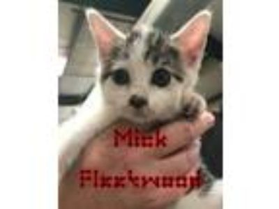 Adopt Mick Fleetwood a Domestic Short Hair