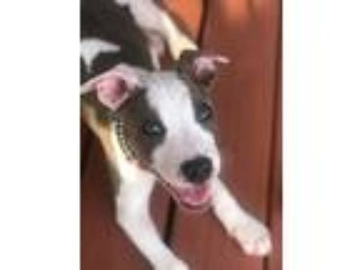 Adopt Hops Vine a White - with Tan, Yellow or Fawn Pit Bull Terrier / Mixed dog