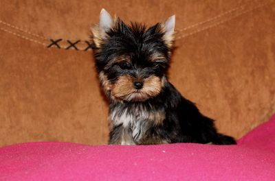 Yorkshire Terrier PUPPY FOR SALE ADN-77342 - Super Cute and Sweet Yorkie Boy