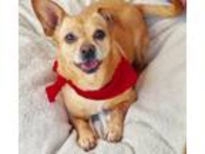 Adopt Adorable Monchi a Tan/Yellow/Fawn - with White Corgi / Beagle / Mixed dog