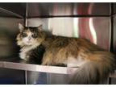 Adopt Viola a Calico or Dilute Calico Domestic Longhair (long coat) cat in