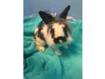 Adopt Checkers a White Lionhead / Lionhead / Mixed rabbit in New Orleans