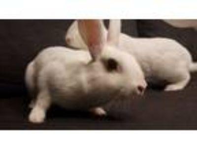 Adopt Tabitha a Bunny Rabbit