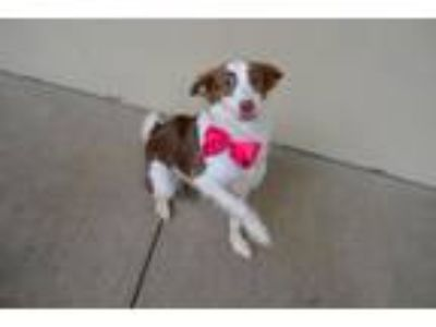 Adopt Tawakoni a Border Collie