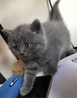 Show Quality Pedigree British Blue Male Kittens