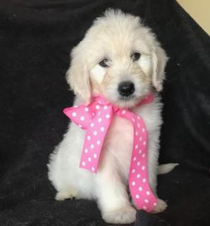 Goldendoodle PUPPY FOR SALE ADN-103565 - English Cream Goldendoodles