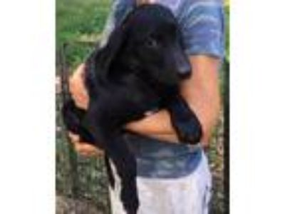 Adopt Echo - sweet, gorgeous puppy a Black Labrador Retriever / Mixed dog in