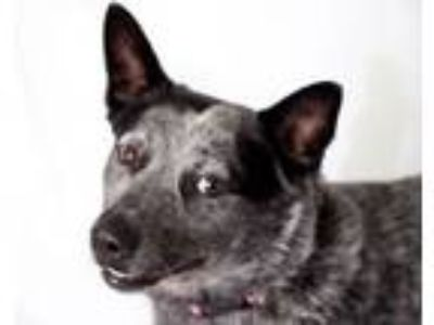 Adopt TEX a Australian Cattle Dog / Blue Heeler, Mixed Breed