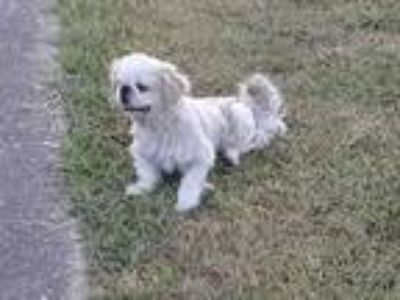 Adopt a White - with Brown or Chocolate Pekingese / Mixed dog in Houston