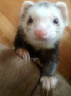 Owners WHY wont you accept a ferret (victoria bc)