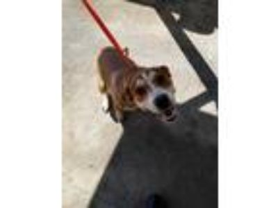 Adopt Falco a Brown/Chocolate Hound (Unknown Type) / Mixed dog in Honolulu