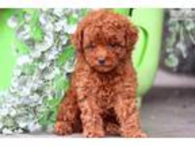 Rylie - Toy Poodle Female