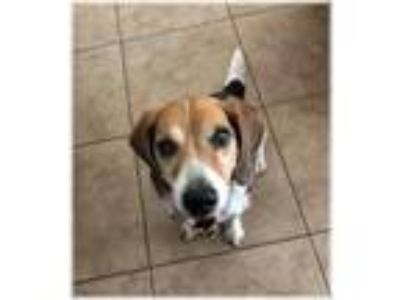 Adopt JJ a Tricolor (Tan/Brown & Black & White) Beagle / Mixed dog in Las Vegas